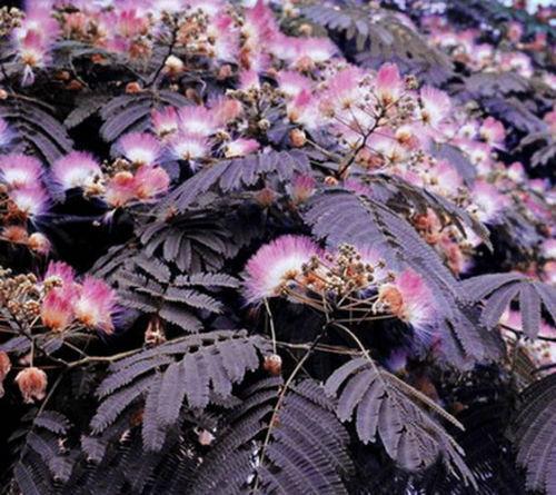 10 Summer Chocolate Mimosa Tree Seeds Silk Tree Albizia julibrissin Seed 714
