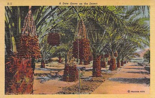 A Date Grove on the Desert California Vintage Postcard