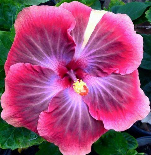 20 Rare Pink Purple Hibiscus Seeds Perennial Flower Tropical Garden Exotic Hardy