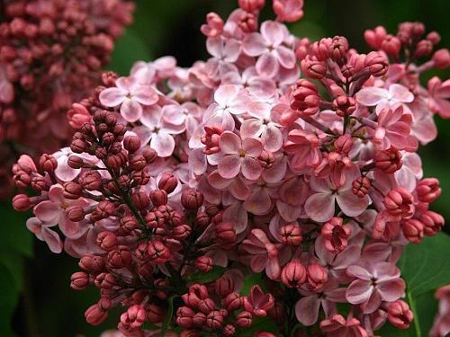25 Pink Lilac Seeds Tree Fragrant Hardy Perennial Flower Shrub Garden Bloom