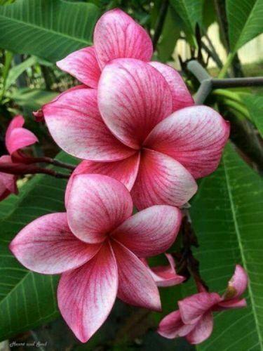10 Pink White Plumeria Seeds Plants Flower Lei Hawaiian Perennial Flowers 2-542