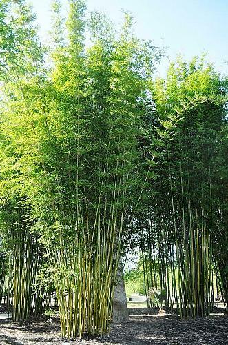 50 Bambusa Oldamii Bamboo Seeds Privacy Climbing Garden Clumping Shade Seed 551