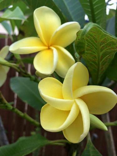 10 Yellow i Plumeria Seeds Plants Flower Lei Seed Hawaiian Seed Perennial 2-771