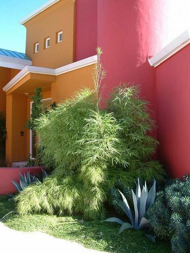 50 Mexican Wheeping Bamboo Seeds Privacy Plant Garden Clumping Shade Screen 623