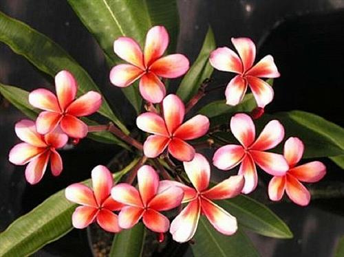 5 Red Orange Plumeria Seeds Plants Flower Lei Hawaiian Perennial Flowers 456