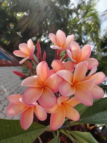 10 Light Pink Orange Plumeria Seeds Plants Flower Lei Hawaiian Garden Seed 2-638
