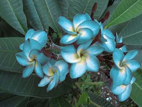 10 Blue White Plumeria Seeds Plants Flower Lei Hawaiian Perennial Flowers 643