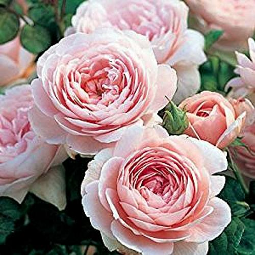 25 Light Pink Persian Buttercup Seeds Ranunculus Asiaticus Peony Seed Flower