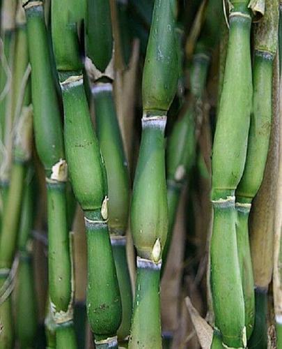 50 Tsutsurmi Bamboo Seeds Privacy Garden Clumping Exotic Shade Screen Seed 758