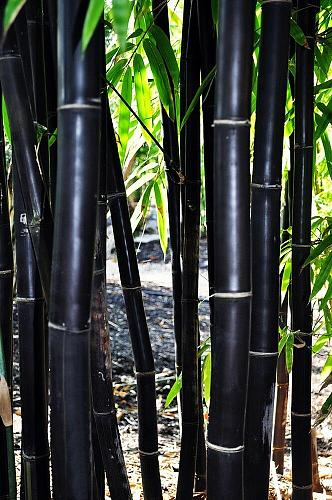 50 Timor Black Bamboo Seeds Privacy Seed Garden Clumping Exotic Shade Screen 765