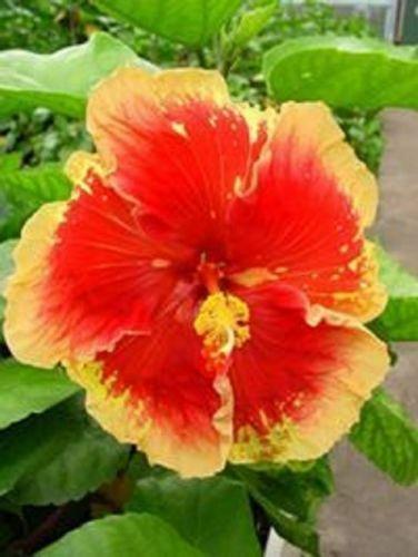 20 Rare Orange Hibiscus Seeds Garden Tropical Perennial Flower Exotic Hardy Seed
