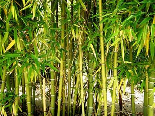 50 Rare Yellow Bamboo Seeds Privacy Seed Garden Clumping Exotic Shade Screen 385