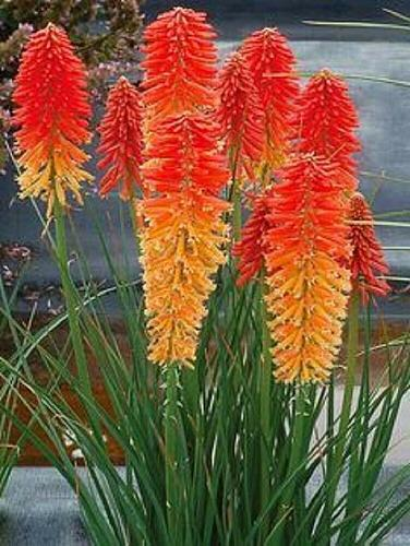 25 Orange Red Poker Seeds Torch Lily Wild Flower Kniphofia Uvaria Perennial