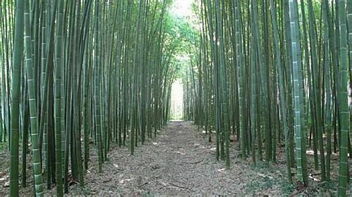 50 Rare Moso Bamboo Seeds Privacy Climbing Garden Clumping Shade Screen 389