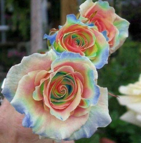 10 Rainbow Rose Seeds Flower Bush Perennial Shrub Garden Home Exotic Garden