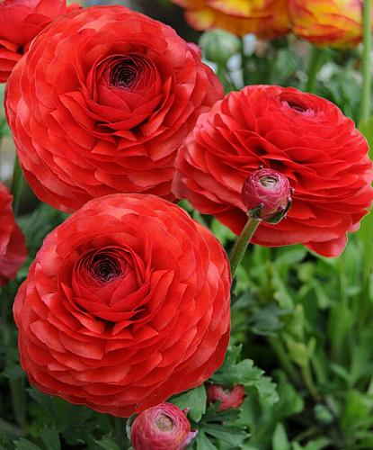 25 Red Persian Buttercup Seeds Ranunculus Asiaticus Peony Seed Flower Bloom