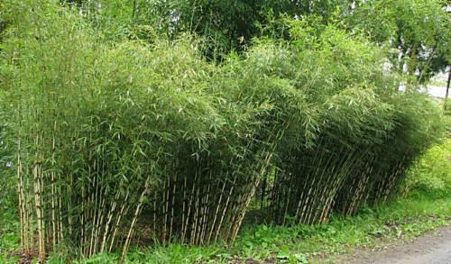 50 Rare Umbrealla Bamboo Seeds Privacy Garden Clumping Exotic Shade Screen 393
