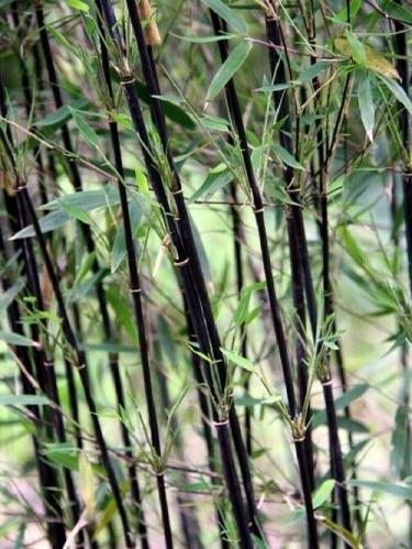 50 Deep Purple Bamboo Seeds Privacy Seed Garden Clumping Exotic Shade Screen 620