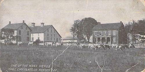 Rare Rotograph, One of the Many Herds (Cows) Hershey Chocolate Vintage Postcard