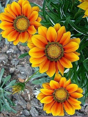 25 Orange Yellow Daisy Seeds Osteospermum Flower African Exotic Garden Bi Color