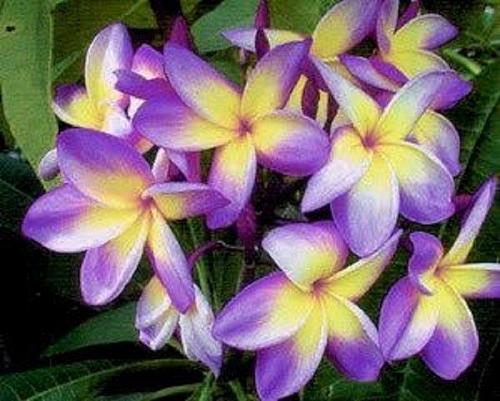 10 Yellow Purple Plumeria Seeds Plants Flower Lei Hawaiian Perennial Seed 543
