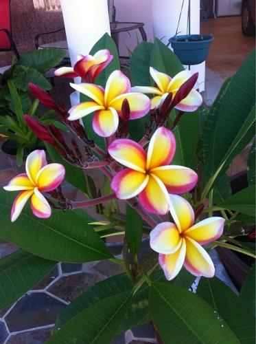 10 Yellow White Purple Plumeria Seeds Plants Flower Lei Hawaiian Perennial 2-192