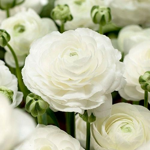 25 White Persian Buttercup Seeds Ranunculus Asiaticus Peony Seed Flower Bloom