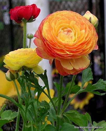 25 Yellow Orange Persian Buttercup Seeds Ranunculus Asiaticus Peony Seed Flower