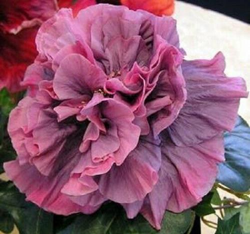 20 Double Pink Purple Hibiscus Seeds Hardy Perennial Flower Garden Exotic Seed