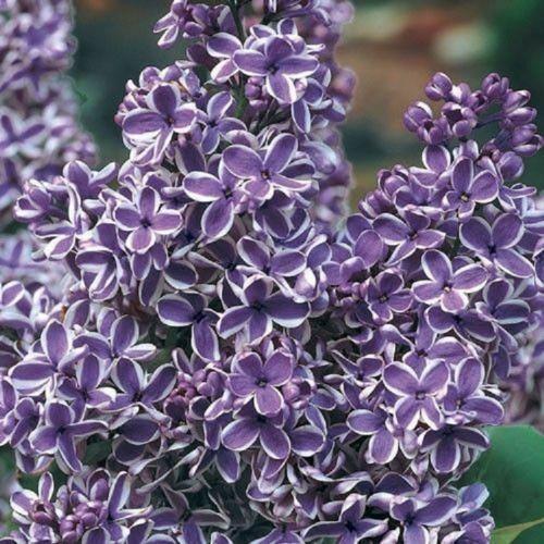 25 Purple White Lilac Seeds Tree Fragrant Hardy Perennial Flower Shrub Garden