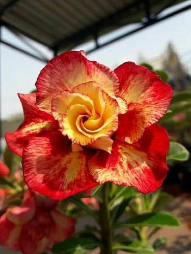 4 Rare Red Orange Desert Rose Seeds Adenium Obesum Flower Perennial Exotic 2-252