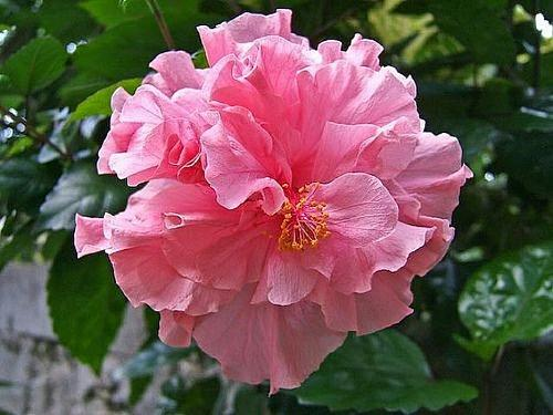 20 Rare Double Pink Hibiscus Seeds Perennial Hardy Flower Garden Exotic Seed