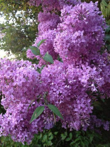 25 Purple Lilac Seeds Tree Fragrant Hardy Perennial Flower Shrub Garden Plant