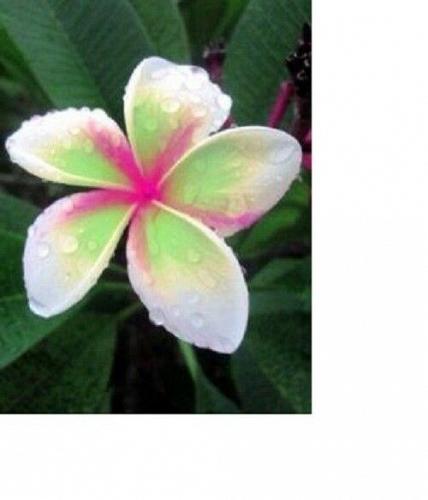 10 White Green Pink Plumeria Seeds Plants Flower Lei Hawaiian Seed Flowers 2-188