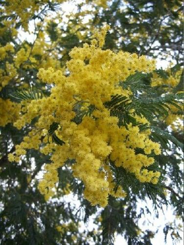 5 Yellow Mimosa Tree Seeds Silk Tree Albizia julibrissin Perennial Persian Seed