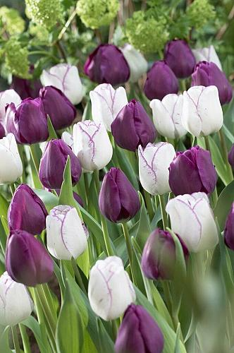 "5 Purple White Tulip Bulbs ""Purple Passion"" Spring Flower Garden Bloom Fall"
