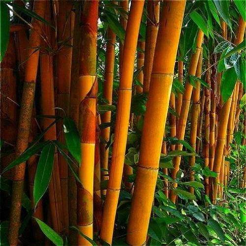 50 Rare Orange Bamboo Seeds Privacy Seed Garden Clumping Exotic Shade Screen 391