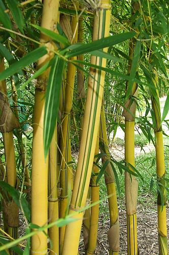 50 China Gold Bamboo Seeds Privacy Garden Clumping Seed Shade Screen Path 760