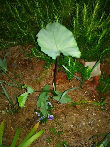 10 Alocasia Elephant Ear Bulb/Rhizomes- Ready To plant