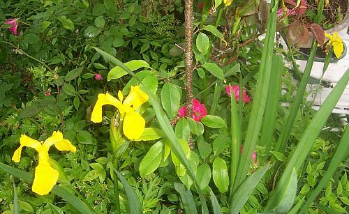 "Yellow Flag Iris ""Iris Pseudacorus"" -10 Bulbs"