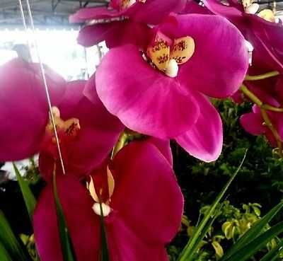 "Orchid Silk Arrangement Flower 24"" Phalaenopsis in wicker hanger pot"