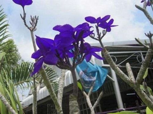 BLUE DRY PLUMERIA'S CUTTING WITH ROOTED 7-12 INCHE WITH CERTIFICATION