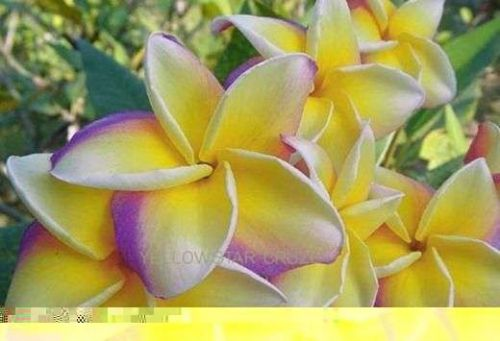 YELLOW STAR CRUZE PLUMERIA'S CUTTING WITH ROOTED 7-12 INCHE WITH CERTIFICATED