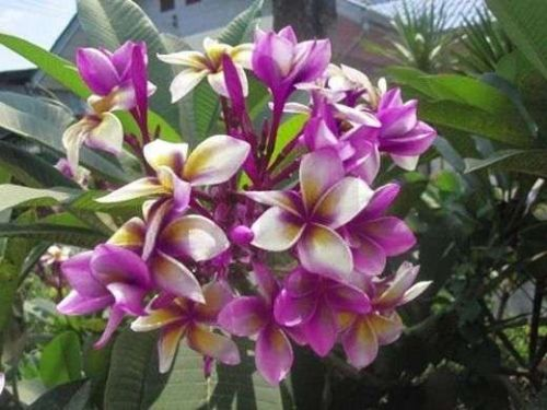 POUNGVIPA PLUMERIA'S CUTTING WITH ROOTED 7-12 INCHES WITH CERTIFICATION