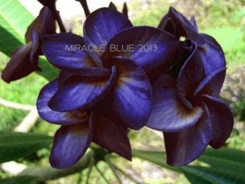 MIRACLE BLUE PLUMERIA'S CUTTING WITH ROOTED 7-12 INCHES WITH CERTIFICATION