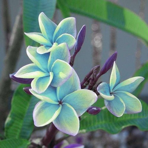 """SORNTALEA FRAGRANT PLUMERIA CUTTING WITH ROOTED 7-12 """" WITH CERTIFICATION"""