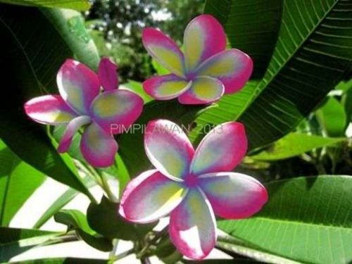 PIMPILAWAN PLUMERIA'S CUTTING WITH ROOTED 7-12 INCHES WITH CERTIFICATION