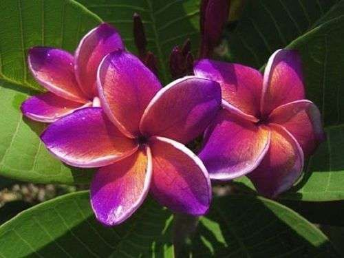 FLAMINGO PLUMERIA'S CUTTING WITH ROOTED 7-12 INCHES WITH CERTIFICATION
