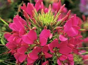 25 ROSE QUEEN CLEOME HASSLERIANA SPIDER MIX COLORS FLOWER SEEDS
