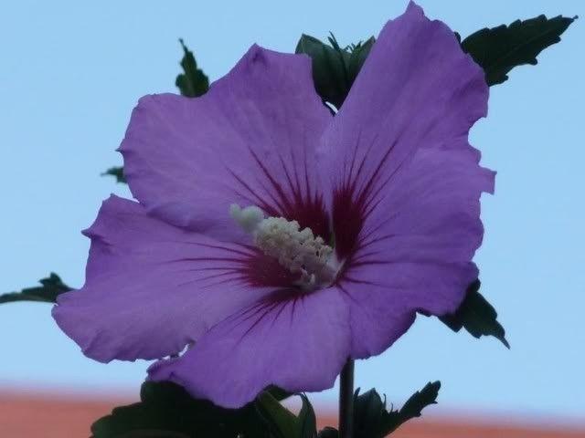 100 Heirloom Purple Rose Of Sharon Shrubs Hibiscus Seeds